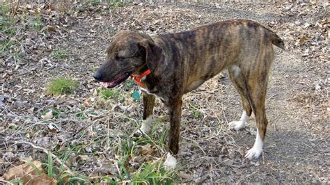 mountain cur mountain cur information characteristics facts names