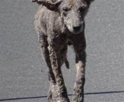 coyote with dogs chicago infected coyotes dogs roam cook county with sarcoptic mange