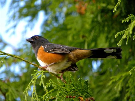 a spotted towhee 171 song of the birds