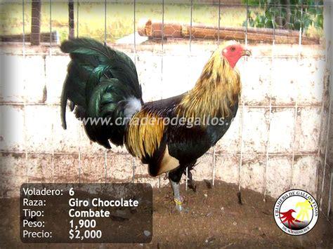 gallos de peleas de todas las razas apexwallpapers com gallos de peleas de todas las razas untitled document