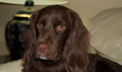 golden retriever cross breeds list golden retriever beagle cross breeds breeds picture