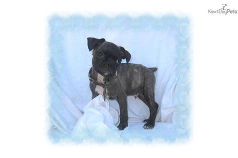 pug designer breeds pin designer breeds image search results on