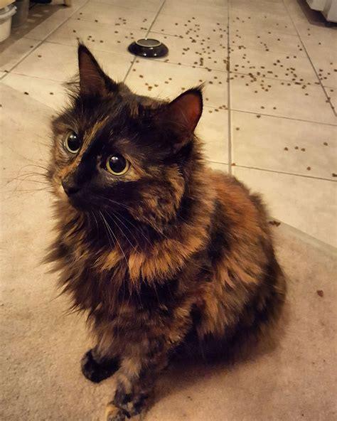 what a beautiful tortoiseshell cat justviral net
