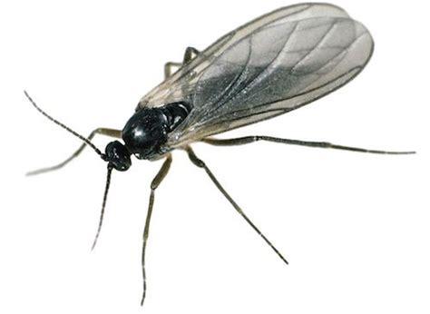 se d饕arrasser des moucherons dans la cuisine tout ce qu il faut savoir pour se d 233 barrasser des moucherons