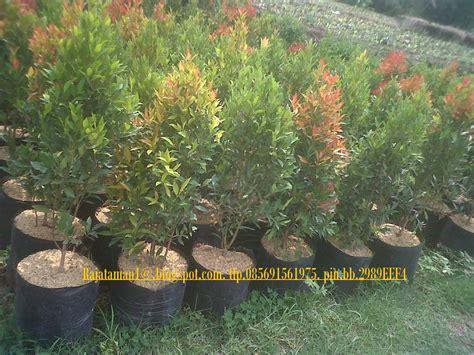 Pohon Pohonan Palm Palem 7cm tukang taman profesional
