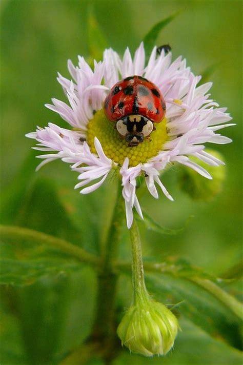 ladybug picmia