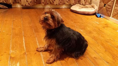yorkie 2 years bertie 2 year yorkie with papers shepton mallet somerset pets4homes