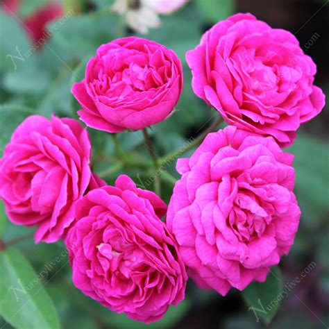 Buy Roses by Buy Miniature Button Pink Plant At