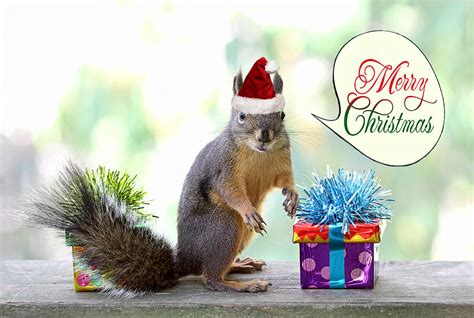 christmas squirrel photograph  peggy collins
