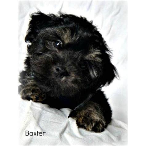 yorkie poo diet best 25 yorkie poo puppies ideas on yorki poo yorkie poodle and black