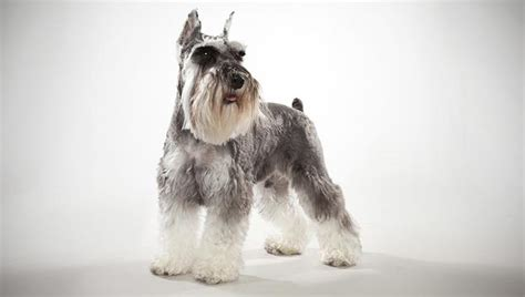 miniature schnauzer dog breed mini schnauzer dog