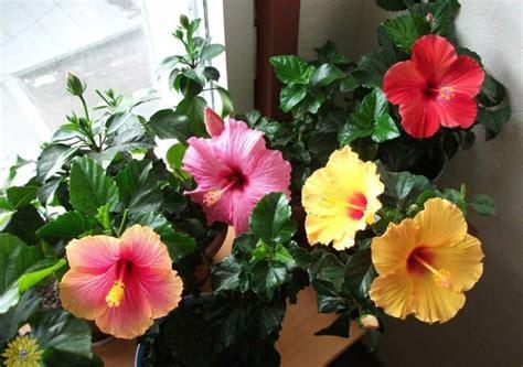 Hibiskus Als Zimmerpflanze by Hibiskus