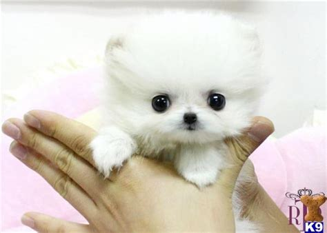 how much does a pomeranian puppy cost teacup pomeranian puppies