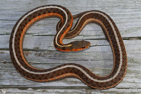 Garter Snake Michigan Wolverine Herps Michigan Snakes Turtles And Lizards A