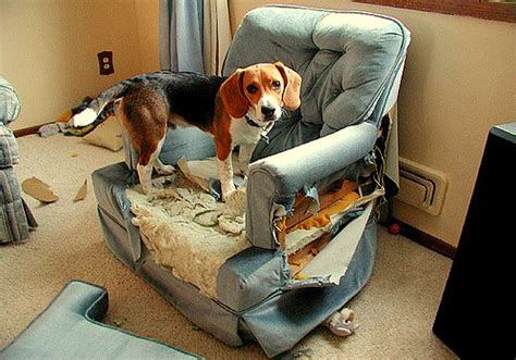busted couch dogs who are totally happy they destroyed your house