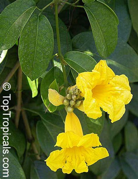 adenocalymna comosum bignonia comosa yellow trumpet vine