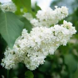 the best fragrant flowers for your garden gardens beautiful and sun