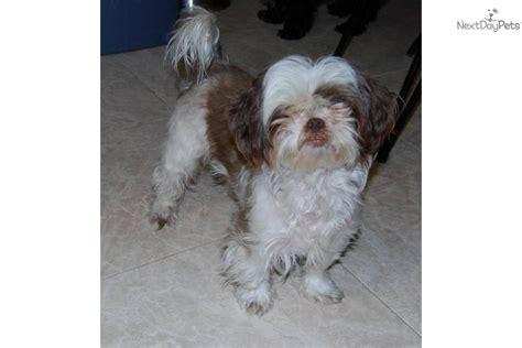 shih tzu rescue near me shih tzu puppy for adoption near 5ad9fb39 a9f2