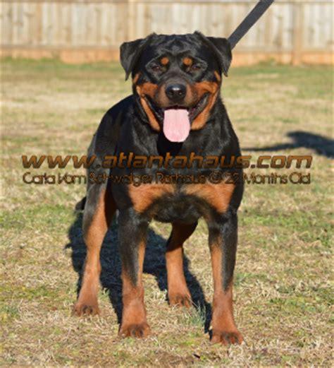 rottweiler puppies for sale atlanta ga german rottweiler puppies puppy for sale breeder breeders atlanta ga