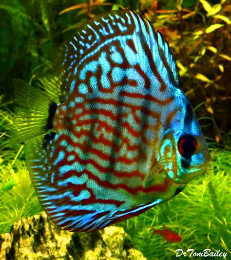 fish for sale ember tetra for sale aquariumfish net