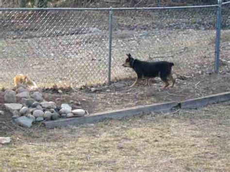 australian shepherd vs australian cattle german shepherd australian cattle funnydog tv