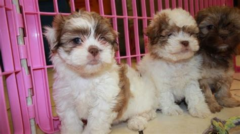 shih poo puppies for sale local puppy breeders adorable fluffy shih poo puppies for sale georgia local
