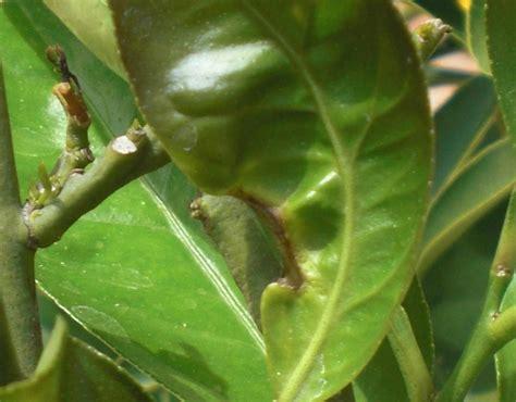 malattie piante limoni in vaso malattie limone malattie delle piante le malattie