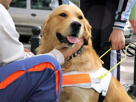 therapy golden retrievers for sale therapy dogs two things to golden retrievers
