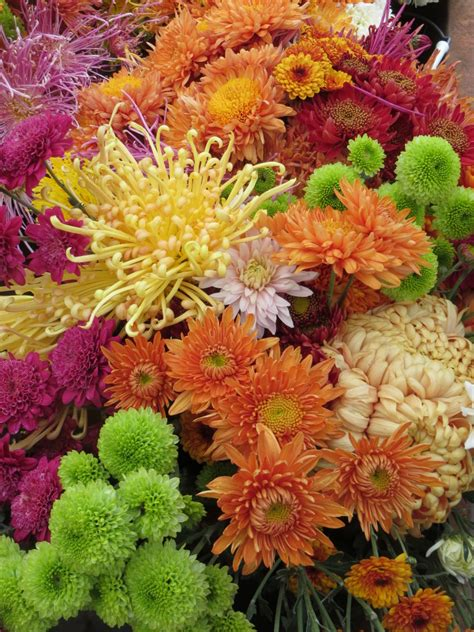 can fall mums survive frost autumn heirloom mums welcome to bare mtn farm