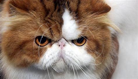 Sho Kucing Bandung ikon berwajah kucing paling disukai tekno tempo co