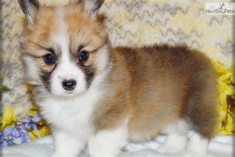 fluffy corgi puppies for sale lira corgi puppy for sale near southeast ks kansas fa77b9bf 3c31