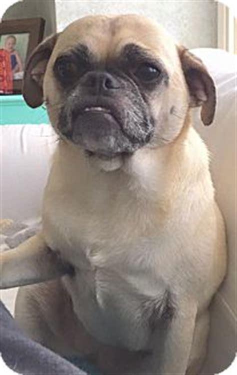 pugs for adoption in ga ga pug mix meet monkey a for adoption
