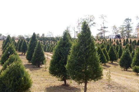 covington christmas tree farm yuletide tree farm is a place to make memories local news