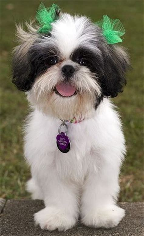 shih tzu puppy hair styles shih tzu hairstyles dogs