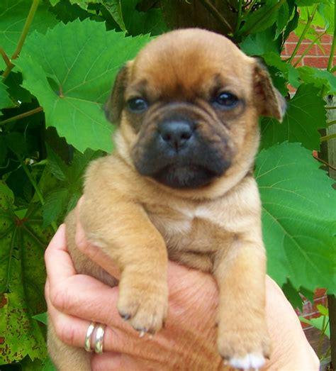 jug puppies jug puppies market rasen lincolnshire pets4homes