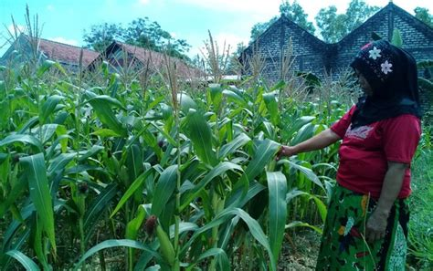 Bibit Tanaman Jagung bantuan bibit jagung tidak merata jawapos