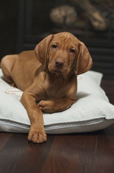 vizsla puppies ohio 25 best ideas about vizsla puppies on hungarian vizsla vizsla and