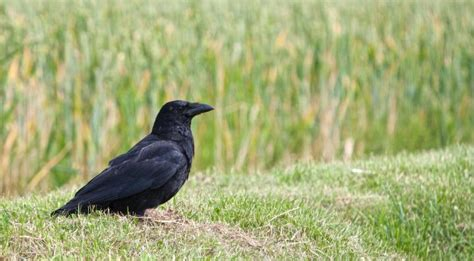 getting rid of crows in backyard crows how to identity and get rid of crows in the garden