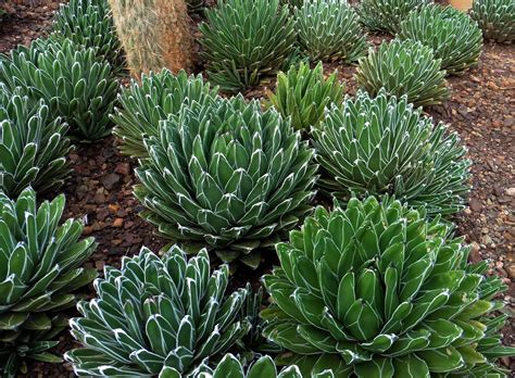 image gallery small agave