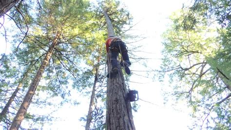 how to fell a tree in sections in order to safely fell a 170 foot sugar pine the tree