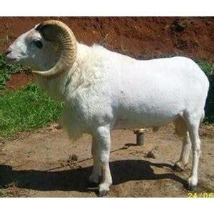 Kontak Jual Bibit Kambing Garut jual mandiri farm bibit domba garut unggulan murah di