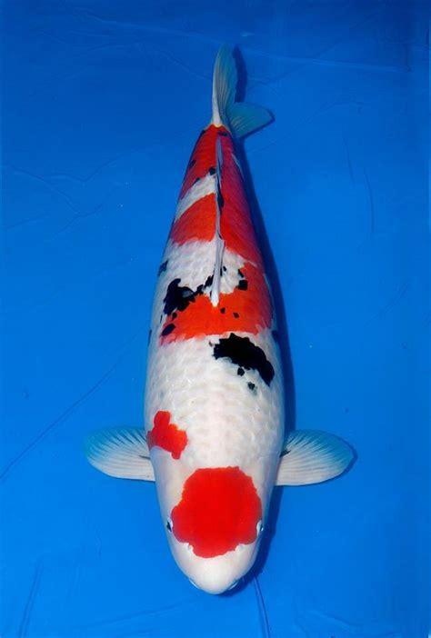 foto tato ikan koi ikan koi terbesar di indonesia 4 binatang peliharaan