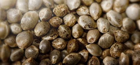 Seed Indica indica seeds images search