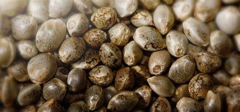semi cannabis la coltivazione dei semi di marijuana