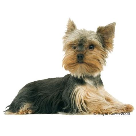 royal canin for yorkies royal canin breed terrier junior croquettes pour chien zooplus