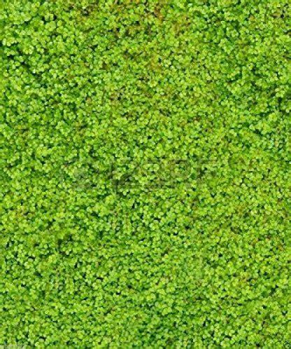 wbut2023 500 irish moss seeds sagina subulata great