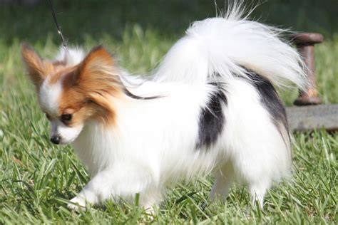 papillon breed standard breeds picture