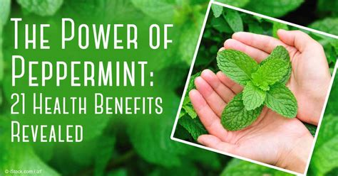A Powerful Peppermint by Medicinal Value Of Mint Leaf Theleaf Co