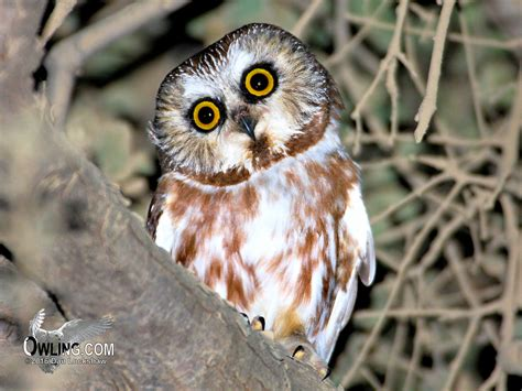 northern saw whet owl biology owling com