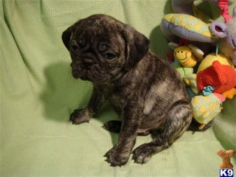 pugs colors 20 best pug in strange colors images on